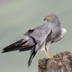 Nuevas ayudas regionales para la protección de aves esteparias